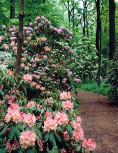 Historic image of Rhododendrons in Azalea Woods