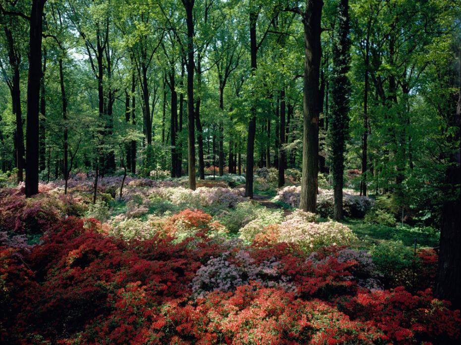 azalea woods in bloom