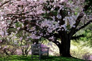cherry tree in bloom over a bench